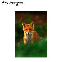 Brs Images Mr Fox Framed Fine Art Print